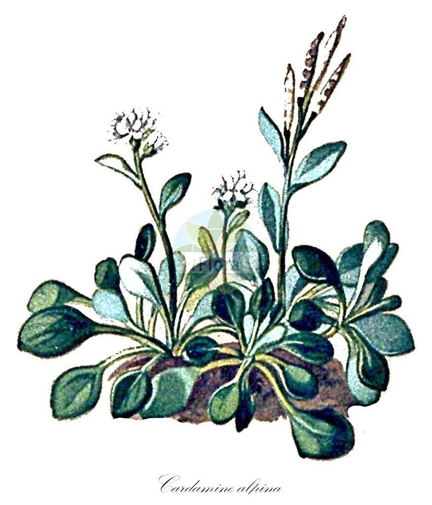 Historical drawing of Cardamine alpina (Alpine Bittercress) | Historical drawing of Cardamine alpina (Alpine Bittercress) showing leaf, flower, fruit, seed