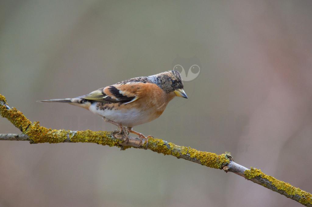 20140210_165555  | Der Bergfink ähnelt seinem nahen Verwandten, dem Buchfink, ist aber durch die orangefarbene Brust und Schulter leicht von ihm zu unterscheiden. In einem fliegenden Buchfinkentrupp verrät ihn sofort sein aufblitzender, weißer Bürzel.