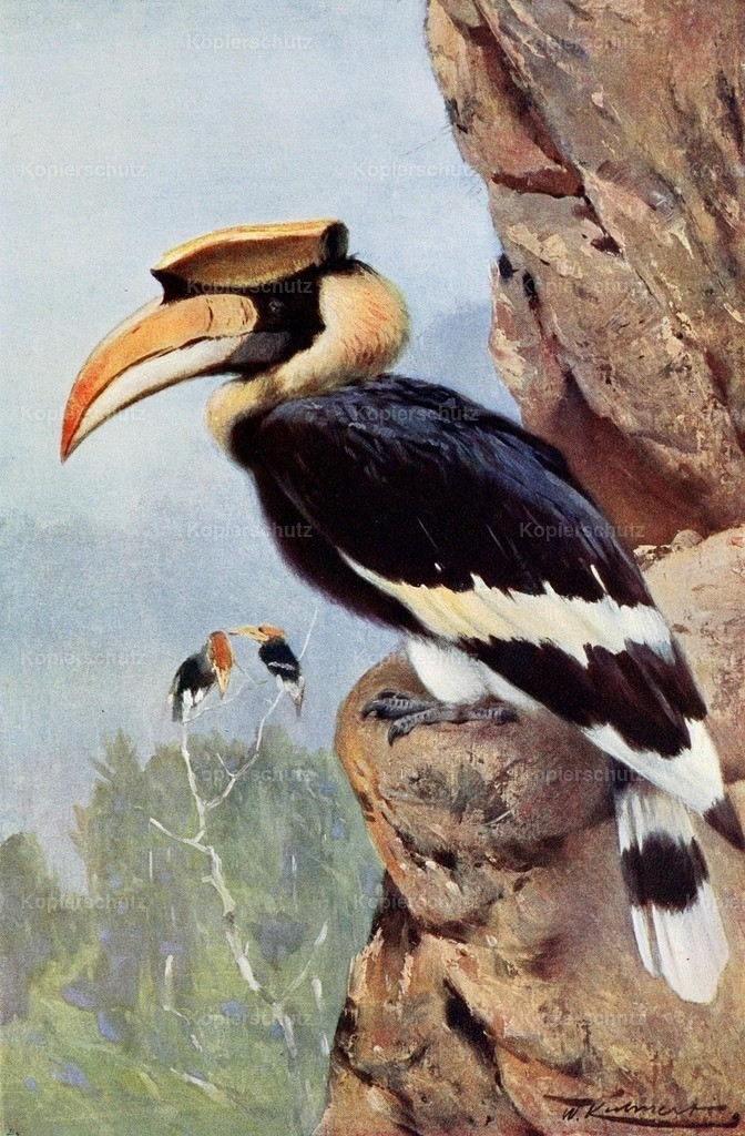 Kuhnert_ F.W. (1865-1926) - Wild Life of the World 1916 - Pied Hornbill
