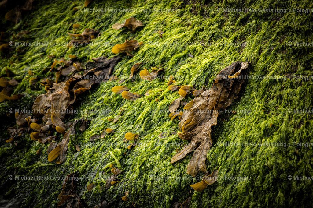 Seetang | Tang und Algen an Steinen an der Ostsee