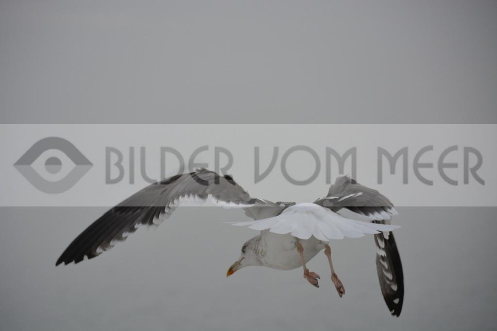 Möwen Bilder | Möwe bei einer Flugkorrektur über dem Meer