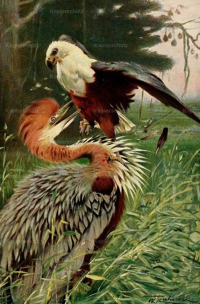 Kuhnert_ F.W. (1865-1926) - Wild Life of the World 1916 - Giant Heron _ Sea Eagle