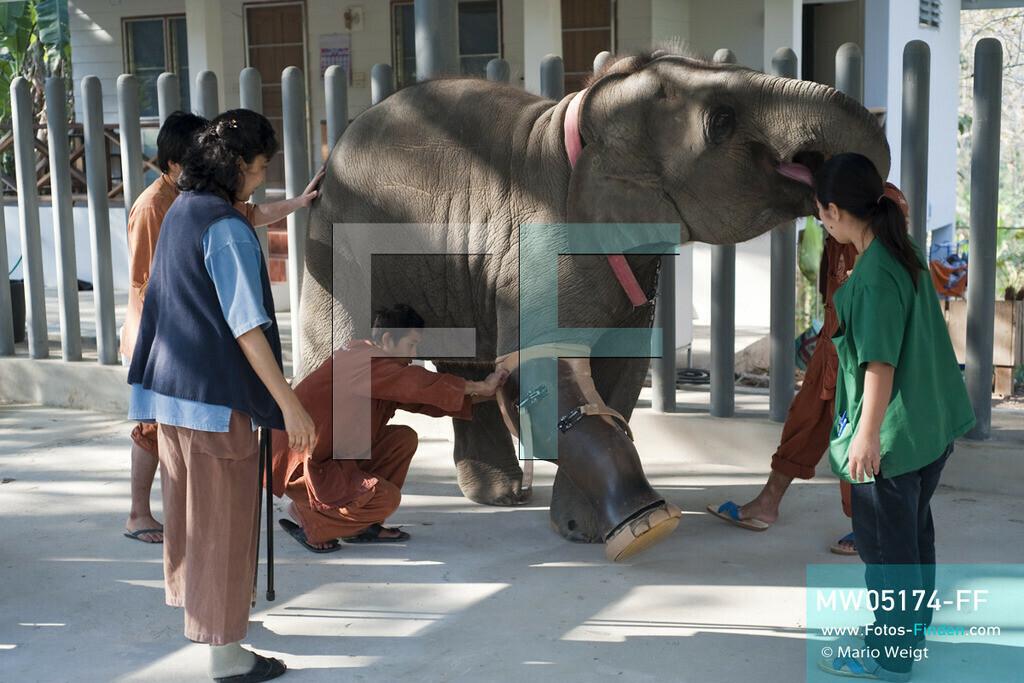MW05174-FF   Thailand   Lampang   Reportage: Krankenhaus für Elefanten   Gründerin der Elefantenklinik Soraida Salwala und Tierärztin Cruetong Kayan beobachten wie ein Tierpfleger Elefantenbaby Mosha die Beinprothese anlegt.  ** Feindaten bitte anfragen bei Mario Weigt Photography, info@asia-stories.com **