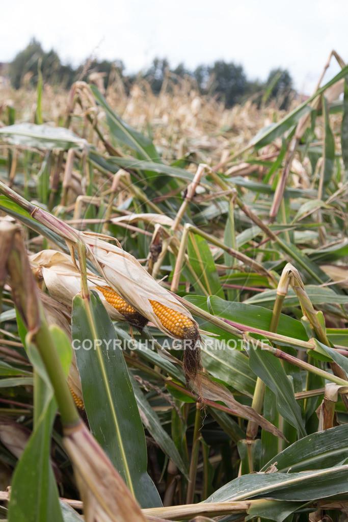 20170917-IMG_1130 | Ernteschaden im Mais durch Herbssturm
