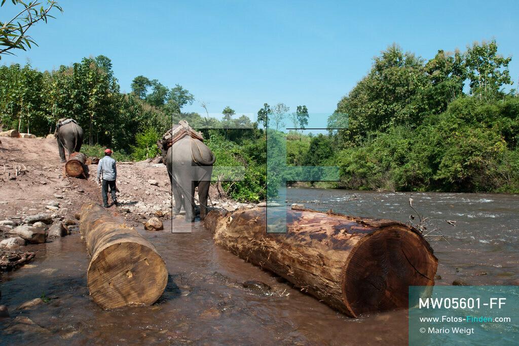 MW05601-FF   Laos   Provinz Sayaboury   Reportage: Arbeitselefanten in Laos   Arbeitselefanten ziehen Baumstämme aus dem Fluss ins Holzfällerlager.  Lane Xang -