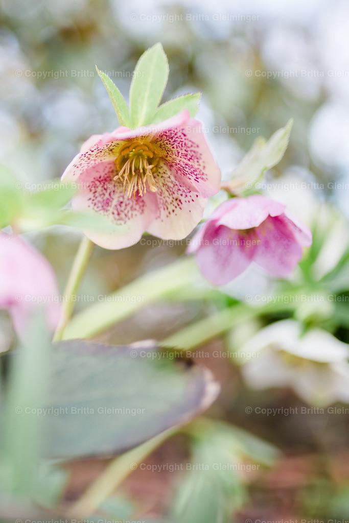 rosa Schneerose I | Die Schneerose, auch Schwarze Nieswurz oder Christrose genannt, hat ihre Hauptblütezeit von Februar bis April und war aufgrund ihrer frühen Blüte und ihrer auffälligen großen Blüten bereits im 16. Jahrhundert in den mitteleuropäischen Gärten zu finden.