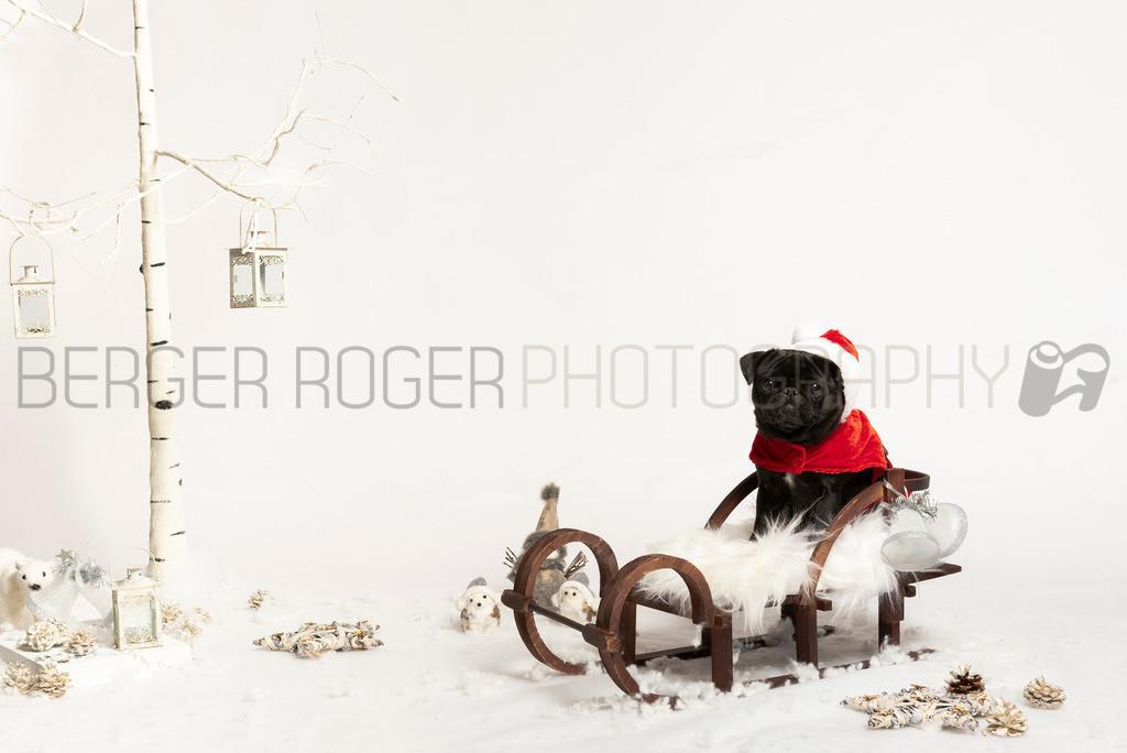 Mops Wichtel | Weihnachtsfoto mit der Mops-Hündin Shyla