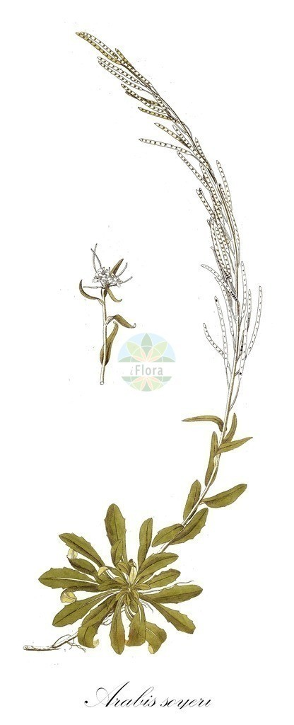 Historical drawing of Arabis soyeri (Soyer's Rockcre | Historical drawing of Arabis soyeri (Soyer's Rockcress) showing leaf, flower, fruit, s