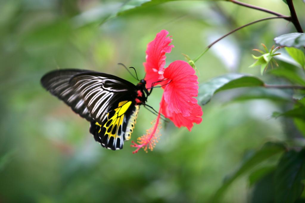 Ayurveda    IND, Indien, Kerala, Trivandrum, Schmetterling,