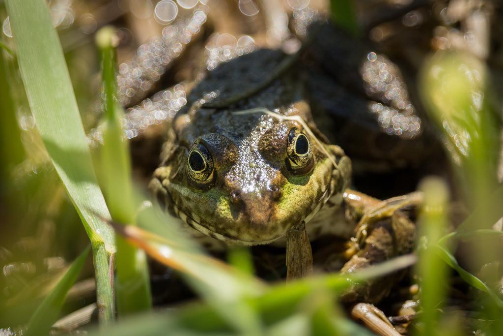 Frosch Nr. 2