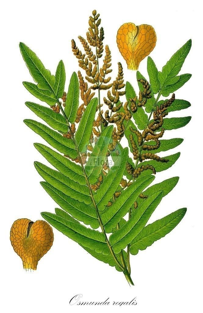 Historical drawing of Osmunda regalis (Royal Fern) | Historical drawing of Osmunda regalis (Royal Fern) showing leaf, flower, fruit, seed