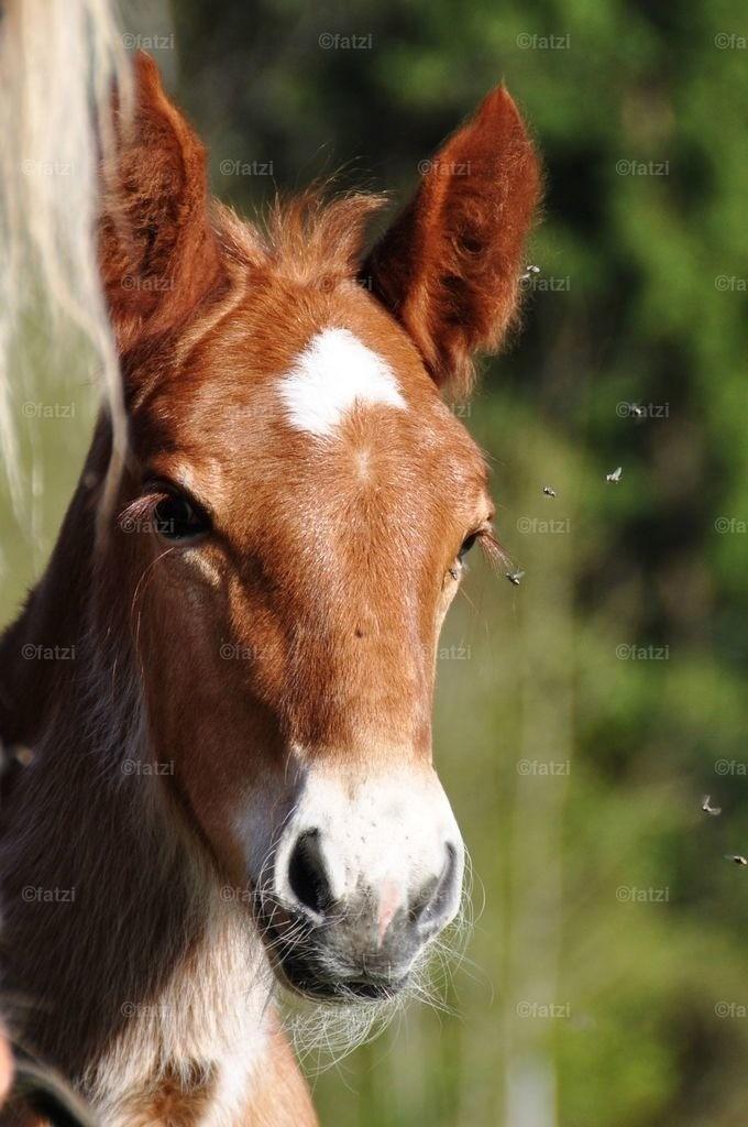 pferd-fohlen_m007k