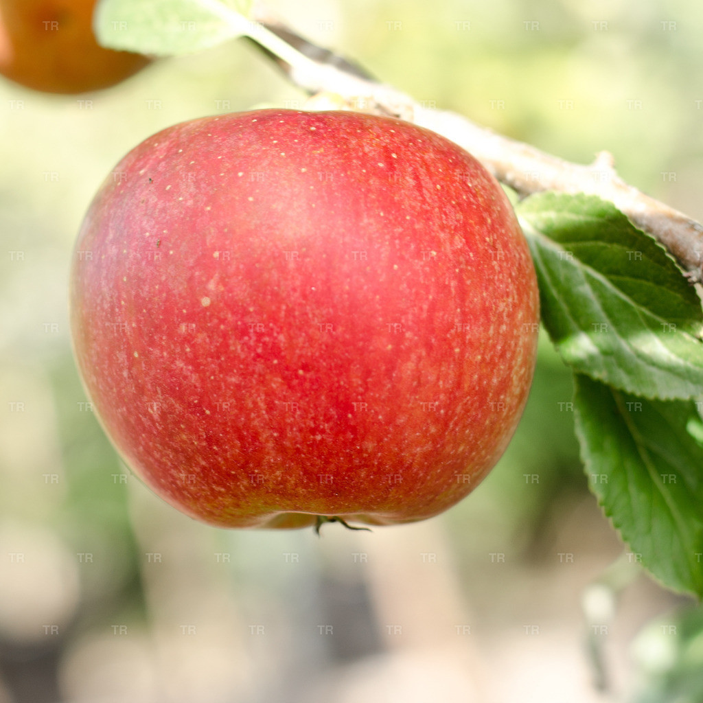 Malus 'Cox Orange Renette' - Apfel