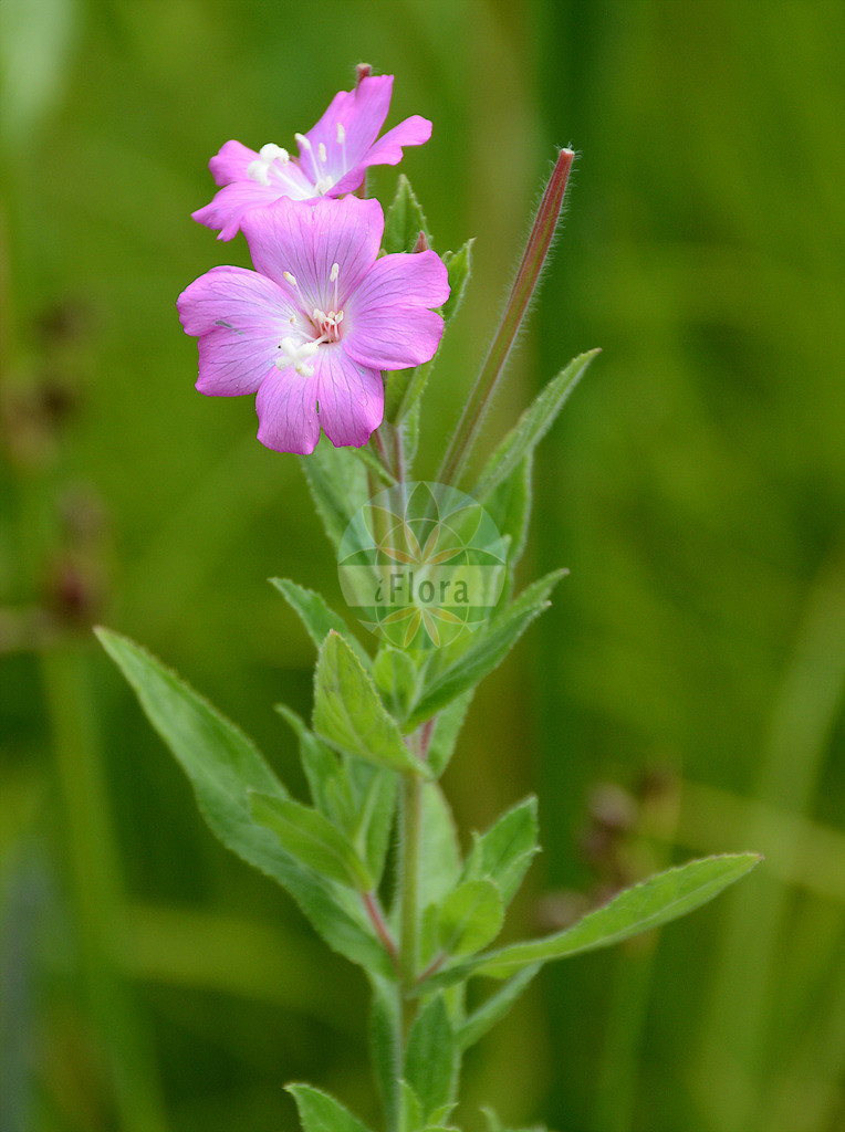 Epilobium hirsutum (Zottiges Weidenroeschen - Great Willowherb) | Foto von Epilobium hirsutum (Zottiges Weidenroeschen - Great Willowherb). Das Foto wurde in Berlin, Deutschland aufgenommen. ---- Photo of Epilobium hirsutum (Zottiges Weidenroeschen - Great Willowherb).The picture was taken in Berlin, Germany.