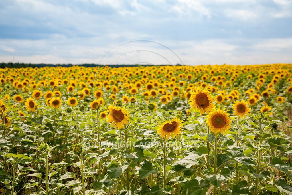 20090711-IMG_3787 | blühende Sonnenblumen im Sommer - AGRARMOTIVE Bilder aus der Landwirtschaft