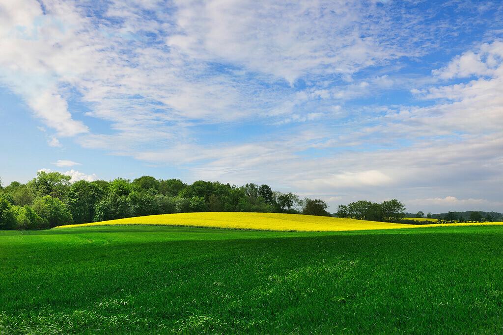 Landschaft mit Rapsfeld   Rapsfeld in grüner Landschaft mit blauem Wolkenhimmel, Schleswig-Holstein