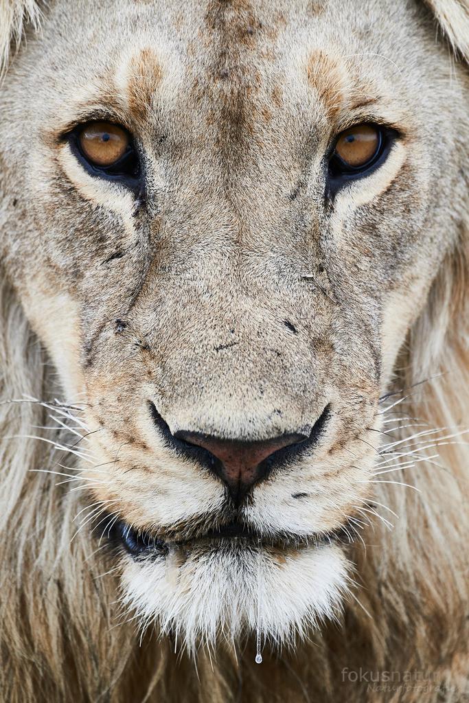 Löwe | Der durchdringende Blick des Löwenmännchen macht klar: ich habe Hunger!