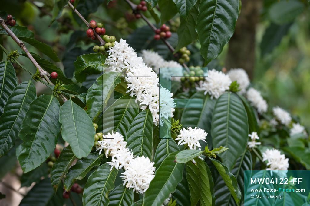 MW04122-FF | Laos | Paksong | Reportage: Kaffeeproduktion in Laos | Kaffeestrauch mit grünen und roten Kaffeekirschen. Die weißen Blüten duften wie Jasmin. In den Plantagen auf dem Bolaven-Plateau gedeihen Sträucher der Kaffeesorten Robusta und Arabica.  ** Feindaten bitte anfragen bei Mario Weigt Photography, info@asia-stories.com **
