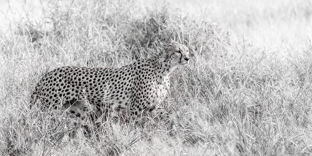 GEPARD - fineArt   Kenia
