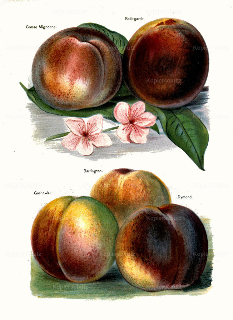 Fruit-Growers-Guide-1890-May-Rivers-Obst-Früchte (37)