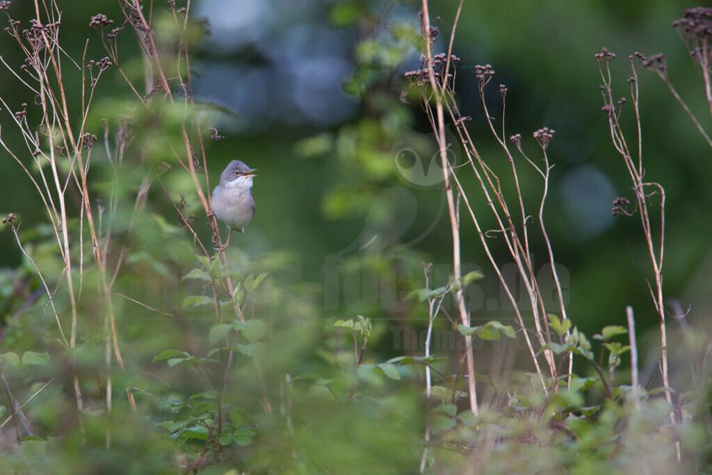 20140504_194234  | Die Dorngrasmücke ist ein Singvogel aus der Gattung der Grasmücken und in Europa weit verbreitet. Sie bevorzugt Lebensräume mit dornigen Büschen, in denen sie ihr Nest anlegt.