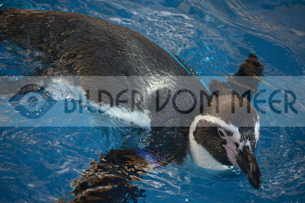 Pinguine Blder | Foto Pinguin Spanien