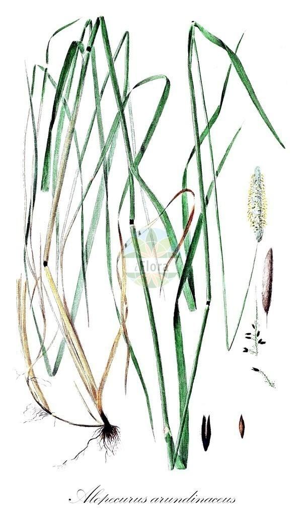 Historical drawing of Alopecurus arundinaceus (Creeping Foxtail) | Historical drawing of Alopecurus arundinaceus (Creeping Foxtail) showing leaf, flower, fruit, seed