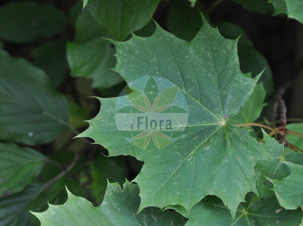 Acer platanoides (Spitz-Ahorn - Norway Maple) | Foto von Acer platanoides (Spitz-Ahorn - Norway Maple). Das Foto wurde in Eschborn, Hessen, Deutschland aufgenommen. ---- Photo of Acer platanoides (Spitz-Ahorn - Norway Maple).The picture was taken in Eschborn, Hesse, Germany.
