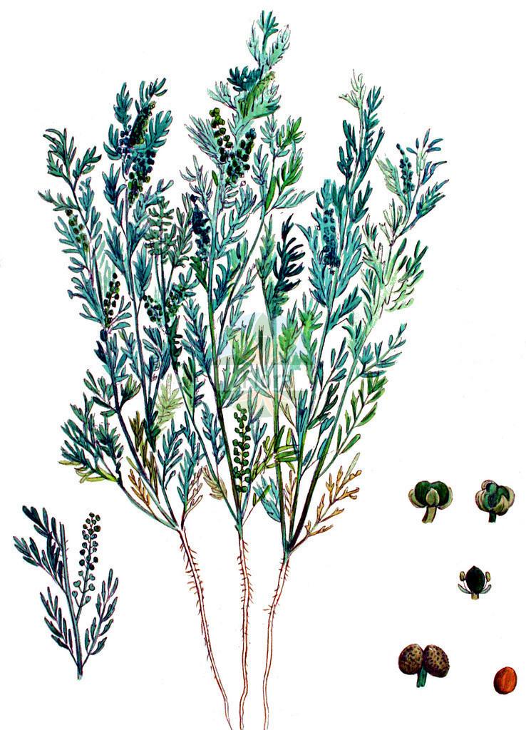 Lepidium didymum (Zweiknotiger Kraehenfuss - Lesser Swine-cress) | Historische Abbildung von Lepidium didymum (Zweiknotiger Kraehenfuss - Lesser Swine-cress). Das Bild zeigt Blatt, Bluete, Frucht und Same. ---- Historical Drawing of Lepidium didymum (Zweiknotiger Kraehenfuss - Lesser Swine-cress).The image is showing leaf, flower, fruit and seed.