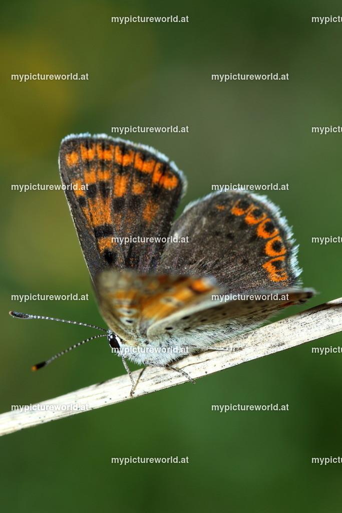 Lycaena tityrus-019