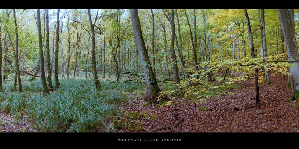 Weltnaturerbe Grumsin | Erlenbruch mit Flattergras im Weltnaturerbe Buchenwald Grumsin