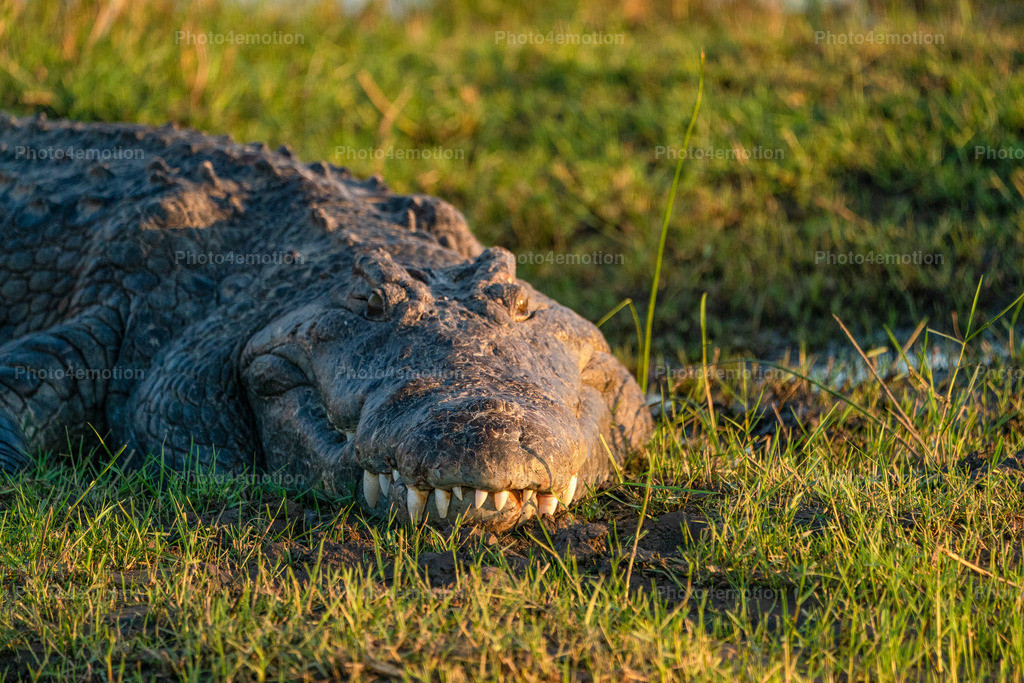 GRO08408-2 | South Luangwa and Lower Zambezi National Parks are among the greatest national parks in Africa and are an undisputed