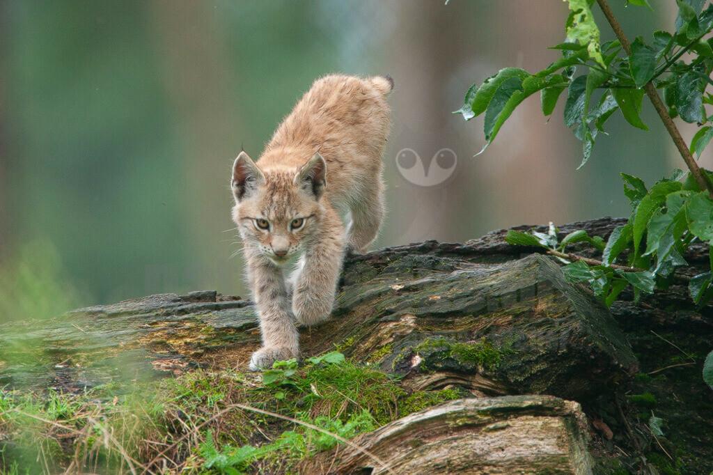 20080803183228 | Die Luchse sind eine Gattung der Familie der Katzen. Alle vier heute lebenden Arten kommen auf der Nordhalbkugel vor: Der Eurasische Luchs ist in weiten Teilen Europas und Asiens verbreitet;
