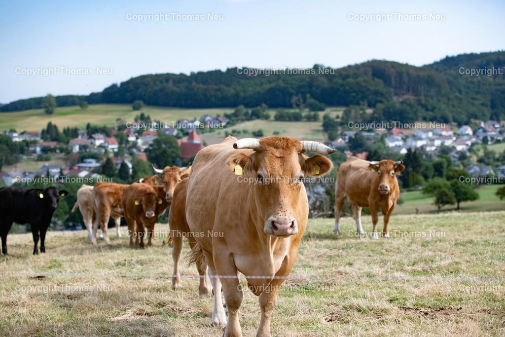 DSC_3792   Lautertal, bli,Gadernheim, glückliche Kühe die nicht im Stall sondern im Freien mit ihren Kälbern grasen dürfen, dem Fotografen aber waren die Kühe skeptisch eingestellt und der Blick zeigt dass man lieber die Distanz wahren sollte, was in Corona Zeiten ja  schon in Fleisch und blut übergegangen ist, ,, Bild: Thomas Neu