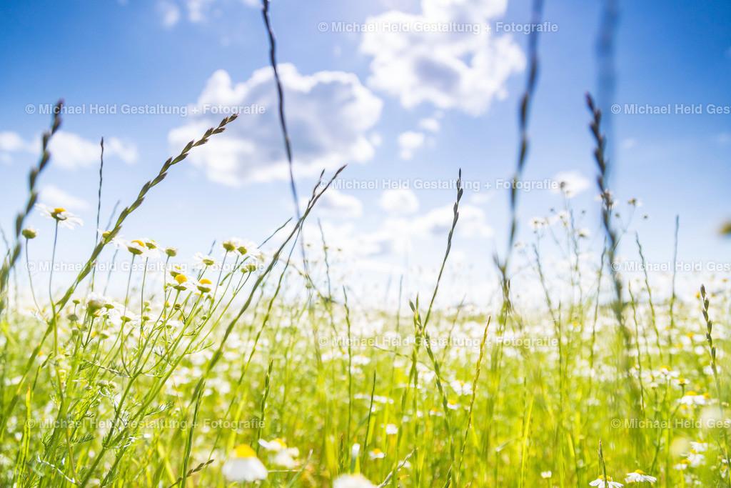 Frühjahrsblumen | Gräser und Kamille im Frühjahr