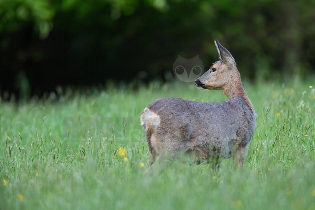 20140504_202459  | Das Reh, zur Unterscheidung vom Sibirischen Reh auch Europäisches Reh genannt, ist die in Europa häufigste und kleinste Art der Hirsche. Als Trughirsch ist es näher mit Ren, Elch und dem amerikanischen Weißwedelhirsch verwandt als mit dem in Mitteleuropa ebenfalls heimischen Rothirsch.