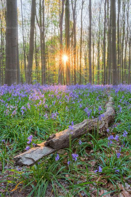 Ast am Wegesrand im Hallerbos | Die letzten Sonnenstrahlen treffen auf einen Ast inmitten der blühenden Hasenglöckchen im Hallerbos in Belgien.