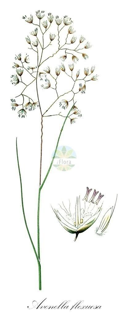 Historical drawing of Avenella flexuosa (Wavy Hair-grass)   Historical drawing of Avenella flexuosa (Wavy Hair-grass) showing leaf, flower, fruit, seed