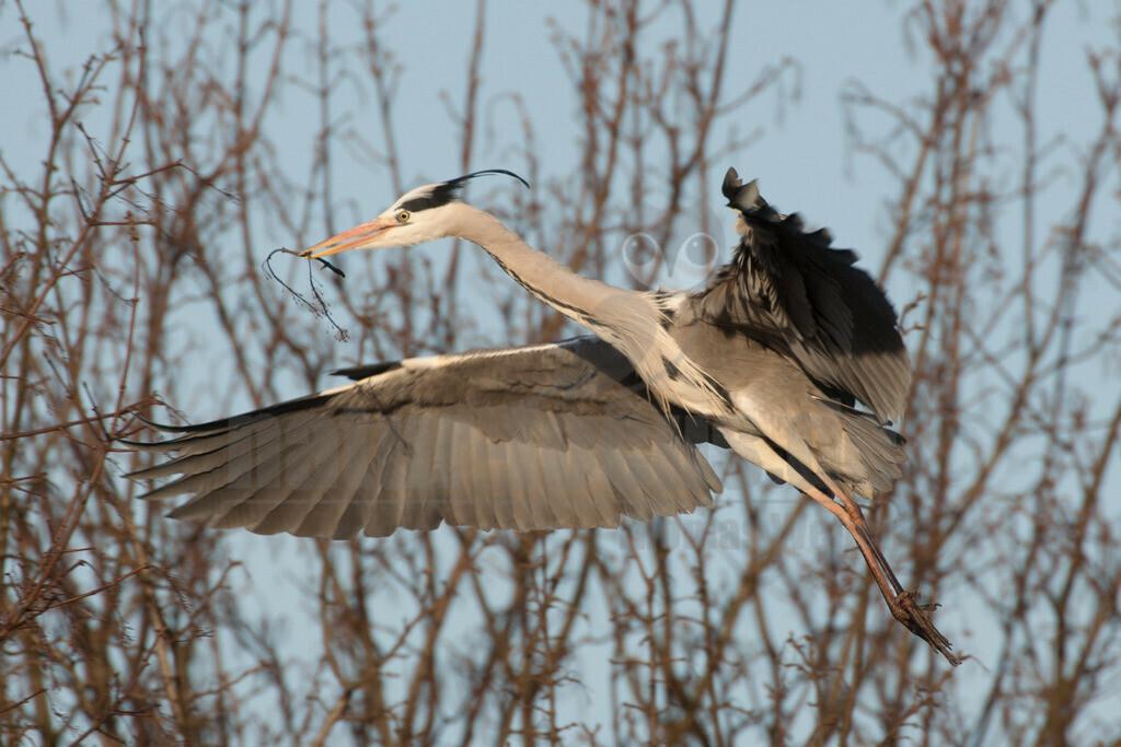 20080314_17214116196 | Der Graureiher ist in etwa 90 cm groß und wiegt zwischen 1000 und 3000 Gramm. Das Gefieder auf Stirn und Oberkopf ist weiß, am Hals grauweiß und auf dem Rücken aschgrau mit weißen Bändern. Er fliegt mit langsamen Flügelschlägen und zurückgezogenem Kopf.