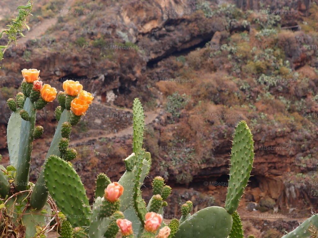 P5286148 | Der stachelige Opuntia ficus-indica