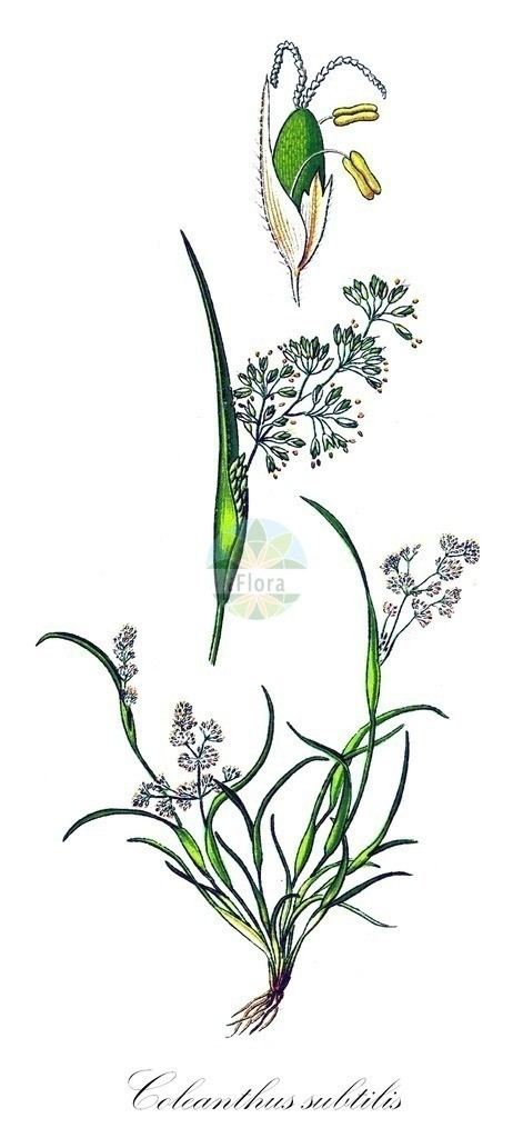 Historical drawing of Coleanthus subtilis (Mossgrass)   Historical drawing of Coleanthus subtilis (Mossgrass) showing leaf, flower, fruit, seed