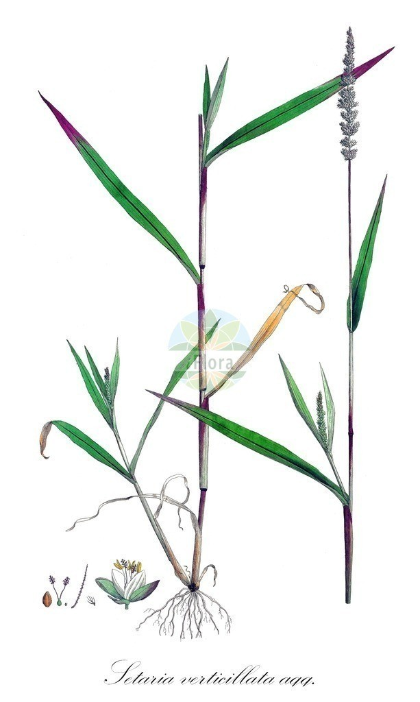 Historical drawing of Setaria verticillata agg. (Rough Bristle-grass)   Historical drawing of Setaria verticillata agg. (Rough Bristle-grass) showing leaf, flower, fruit, seed