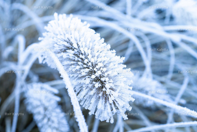 Frozen Flower | Image shows a frozen flower with hoarfrost