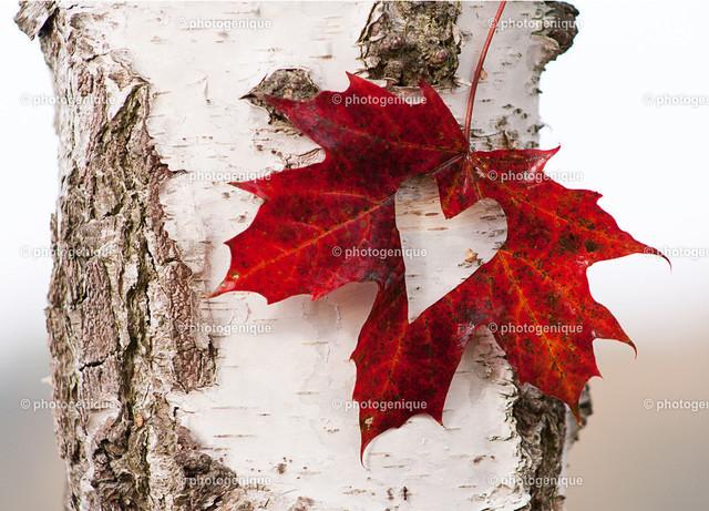 Herzblatt an Birke | Rotes Blatt mit Herz Ausschnitt an Birke bei Tageslicht vor einem hellen Hintergrund