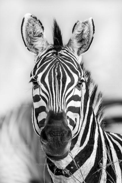 Zebra_bw