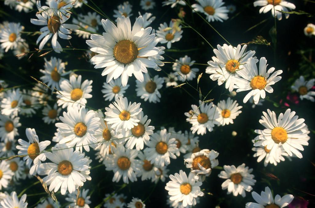 JT-040831-1003.JPG   Gänsebluemchen in einer Wiese. (Bellis perennis)