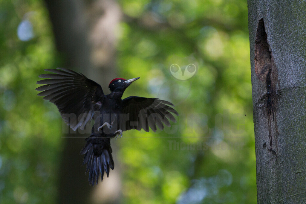 20110510_16303476083  | Der Schwarzspecht ist ein Vertreter der Gattung Dryocopus innerhalb der Unterfamilie der Echten Spechte. Der in Mitteleuropa durch seine überwiegende Schwarzfärbung und die rote Scheitelfärbung unverwechselbare Vogel ist etwa krähengroß und mit Abstand der größte europäische Specht.
