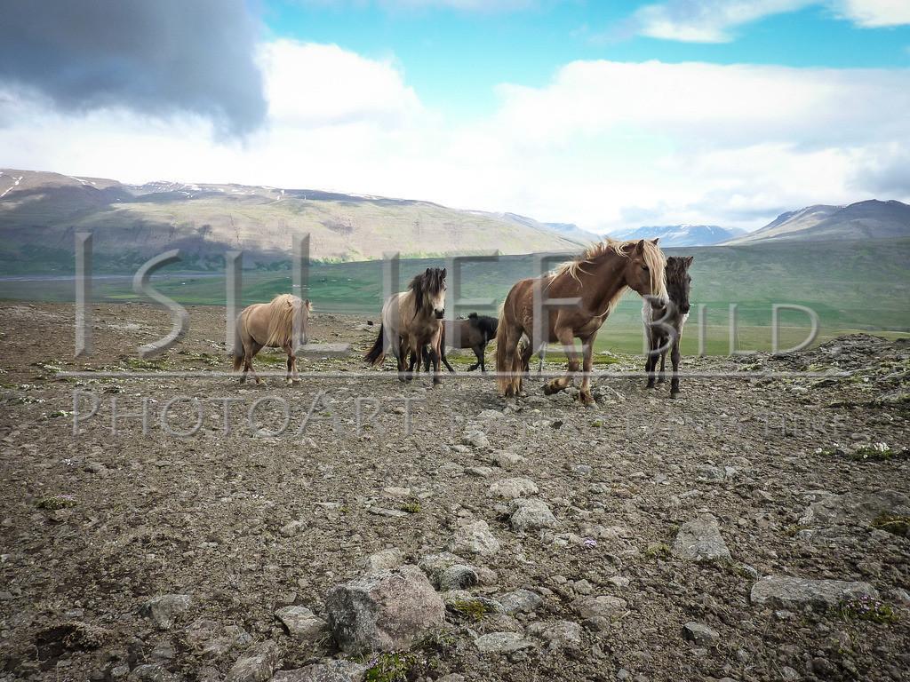 Islandpferde | Hochland auf Island