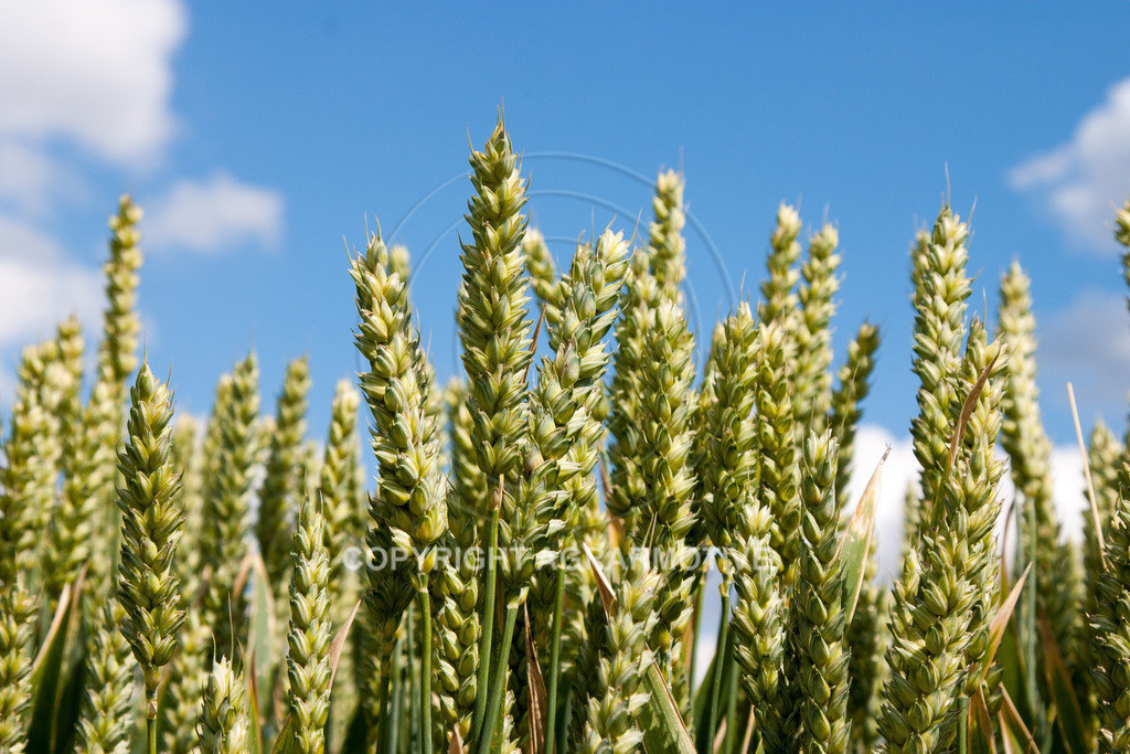 149_4951 | Weizenfelder im Sommer