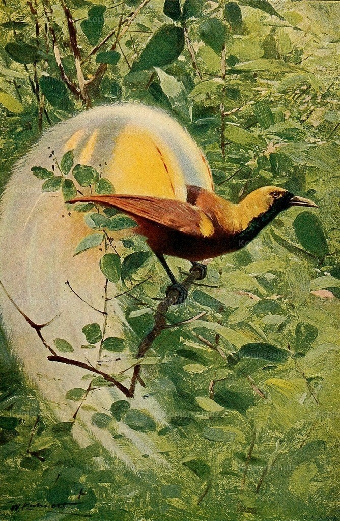 Kuhnert_ F.W. (1865-1926) - Wild Life of the World 1916 - Great Bird of Paradise